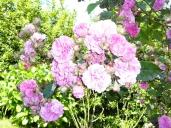 Jardín y rosas silvestres