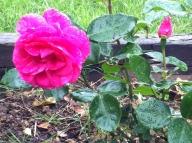 Jardín y rosas