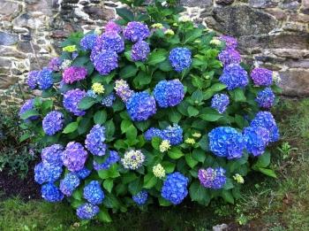 Jardín y hortensias